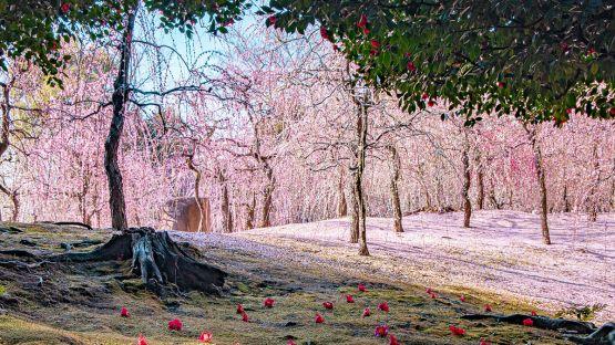 Bunga Plum Jepang
