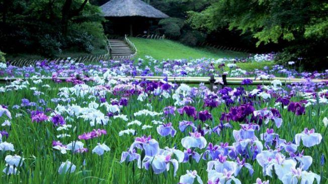 Bunga iris di Meiji Jingu Inner Garden. (matcha-jp.com)