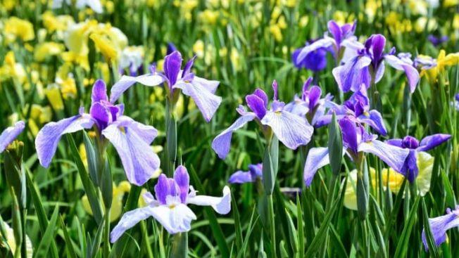 Bunga Iris yang biasa mekar di musim hujan. (matcha-jp.com)