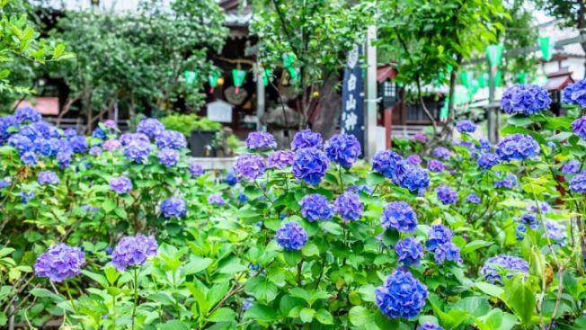 Bunga hydrangea yang mekar di Kuil Hakusan. (matcha-jp.com)