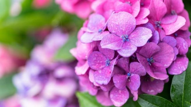 Bunga hydrangea, bunga musim hujan (matcha-jp.com)