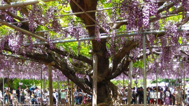 Pohon wisteria berusia 600 tahun di Kuil Susanoo sebelum dipangkas. (graoee.jp)