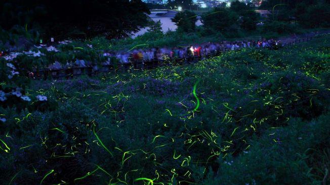 Hotaru Park firefly sightviewing