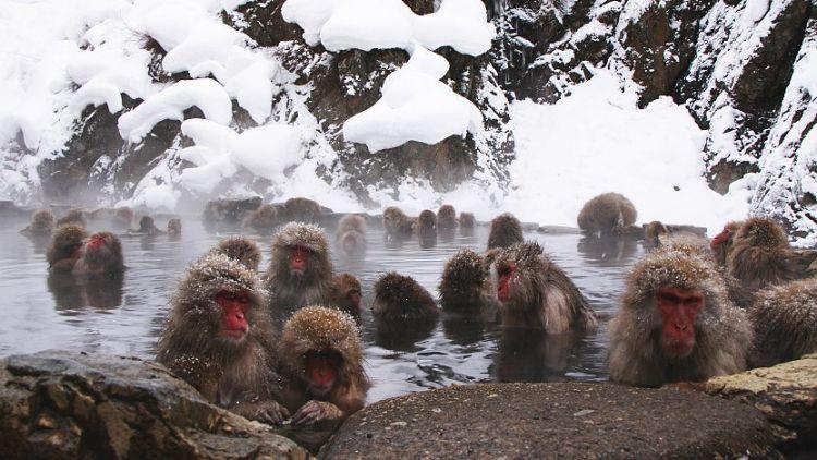 Monyet  berendam di Jigokudani Park (japan-guide.com)