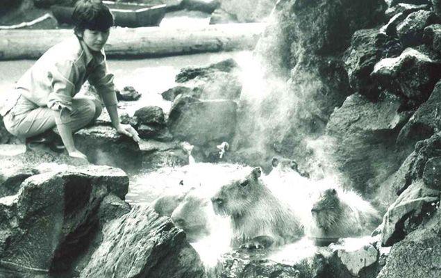 Seorang penjaga kebuh binatang yang membuat onsen untuk kapibara (spoon-tamago.com)