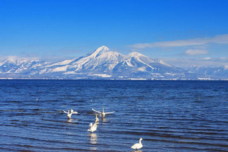 Angsa bermigrasi saat musim dingin di Lake Inawashiro (ana-cooljapan.com)