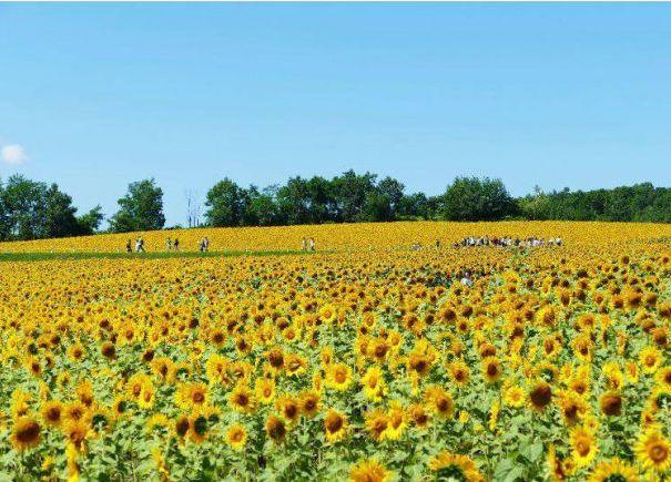 bunga musim panas Hokkaido japanesestation.com