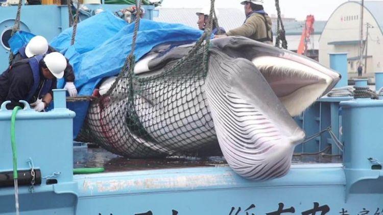berburu paus di Jepang japanesestation.com