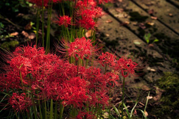 Red spider liliy Jepang japanesestation.com