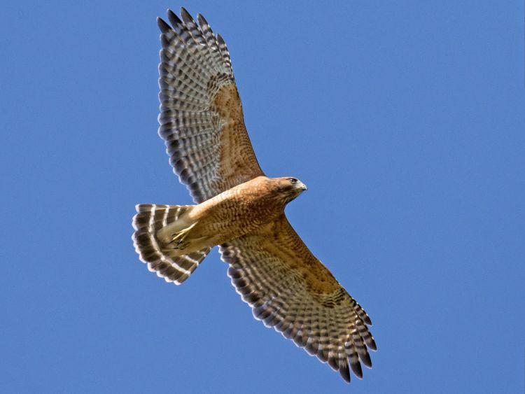 ilustrasi burung rajawali
