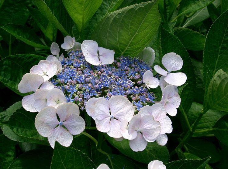 bunga asli Jepang japanesestation.com