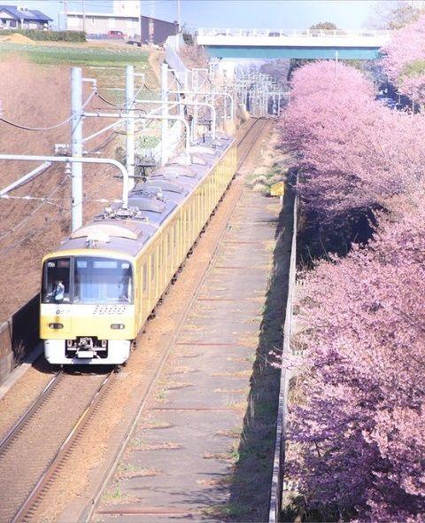 Foto bunga sakura dan kereta