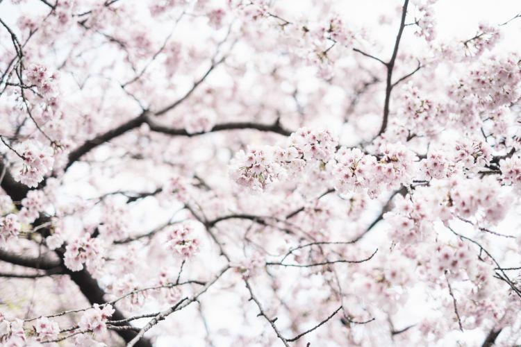 bunga sakura jepang lebih awal japanesestation.com
