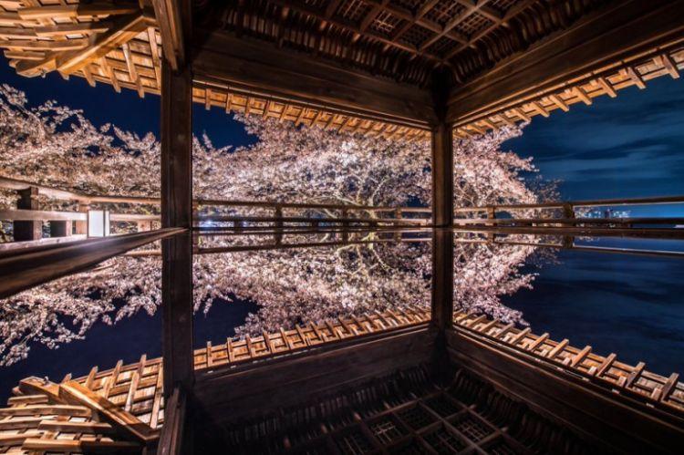 Pemandangan bunga sakura dari Kuil Mii