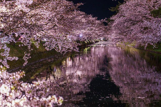 Foto Bunga Sakura